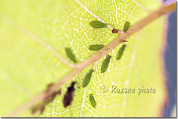 Photo pucerons verts du rosier macrosiphum rosae rose aphid picture insectes photos insects - Puceron vert du rosier ...