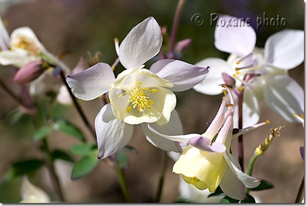 Ancolies Spring magic blanche - White aquilegias Spring Magic - Aquilegia hybride - Hybride Columbines