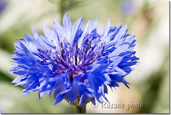 photo bleuet centaurea cyanus blueberry picture centaur es bleuets photos cornflowers photos. Black Bedroom Furniture Sets. Home Design Ideas