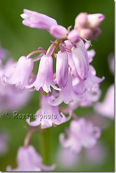 Photo Jacinthe des bois rose Hyacinthoides non scripta Bluebell picture Jacinthes Photos  # Jacinthe Des Bois Blanche