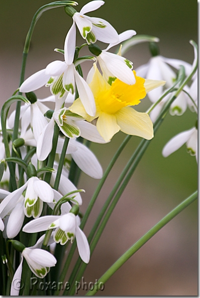 Perce-neige et narcisse - Snowdrops and narcissus - Galanthus nivalis