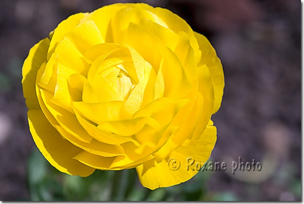 photo renoncule des fleuristes jaune yellow buttercup ranunculus asiaticus picture. Black Bedroom Furniture Sets. Home Design Ideas